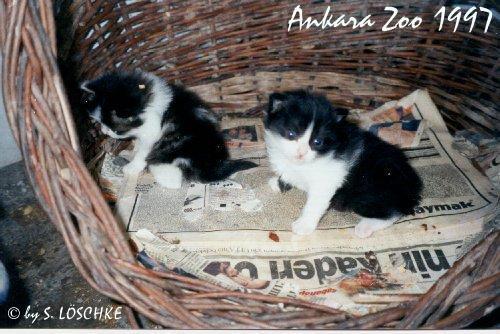 Angora cat black and white