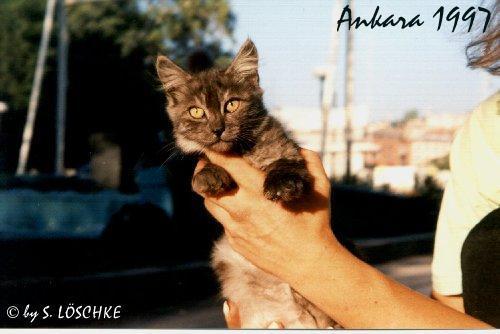 Wild living Angora blacksmoke